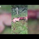 【動物虐待】Badger baiting(直訳:アナグマ餌・アナグマいじめ)とは?