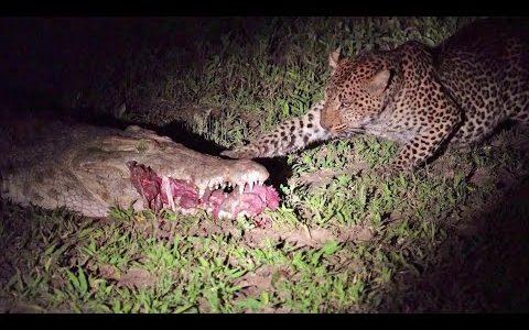 【強盗】他の動物が捕った獲物を横から横取りする生き物たち【動画まとめ】