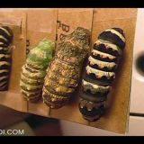 色んな昆虫の幼虫が蛹になる瞬間が美しすぎる【動画まとめ】