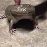 【へんなカエルの鳴き声】魂の叫びを聞け!カエルの鳴き声が面白すぎる!【動画まとめ】
