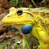 【変なカエル】超奇抜な進化を遂げた面白いカエルをまとめてみた!【保存版】