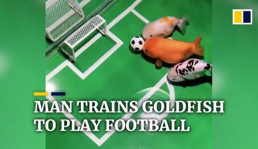 【驚愕】トレーニングによってサッカーができるようになった金魚が凄すぎる!!