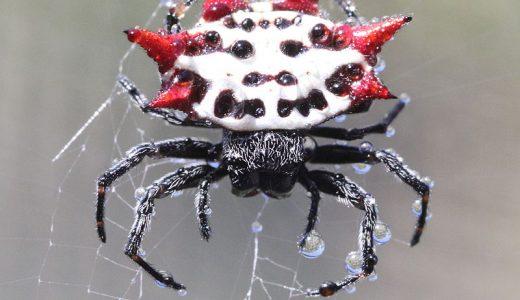 【変なクモ】超特殊な進化を遂げた面白いクモをまとめてみた!【保存版】