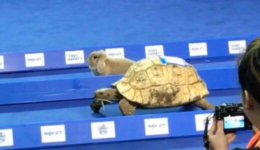 【驚愕】ウサギとカメをリアルに競争させたらどちらが勝つ??