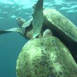 泳ぎながら交尾をしているウミガメがたくさんのオスガメから邪魔される!!