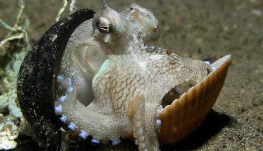 【動画】タコなのに殻に閉じこもるメジロダコが面白過ぎる