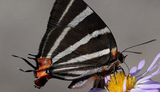 【動画】どっちが頭か尾か全くわからないシジミチョウの仲間「Panthiades bathildis」