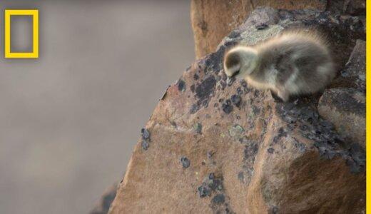 120mを超える崖からジャンプさせられるカオジロガンのヒナ