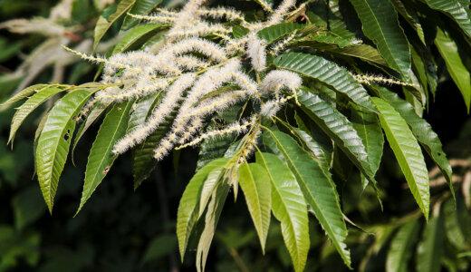クリの花の臭いはどうして精液の臭いと似ているの?