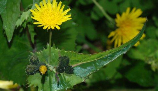 タンポポによく似た植物:ブタナ、オニタビラコ、ノゲシ、イワニガナ(ジシバリ)