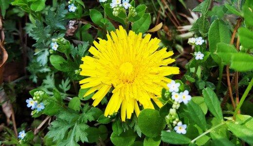 タンポポの花は小さな花の集まり?