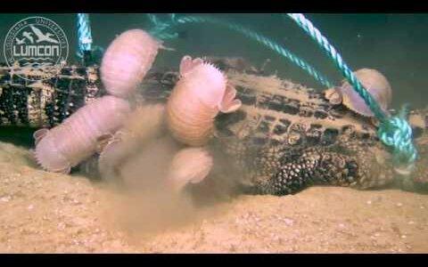 海底にワニの死体を沈めてみたら、大量のダイオウグソクムシが集まってきた!!