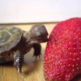 【動画】イチゴにかぶりつこうとするも全然食べられない小亀
