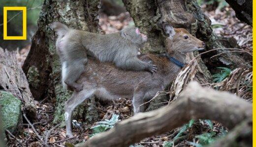 【動画】シカに必死で交尾する屋久島のニホンザルの映像【驚異の異種間交雑】