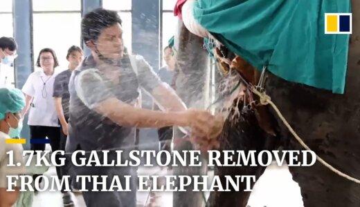 【動画】ゾウの体内から1.7kgの胆石を取り除くことに成功