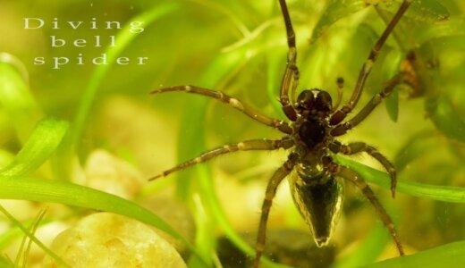 ミズグモはクモの仲間なのに水中に巣を作る