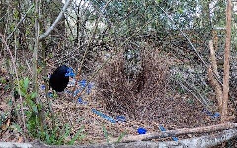 メスにもてたいがために巣を青色に装飾するアオアズマヤドリ