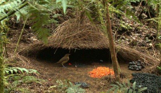 【動画】モテたいがためにレベルの高い小屋を作るチャイロニワシドリがすごすぎる