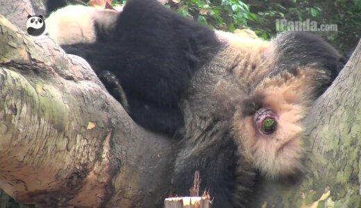 【閲覧注意】パンダの貴重な排便シーン【緑色の糞】