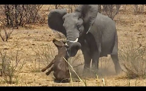 【閲覧注意】ゾウを怒らせた水牛が牙で刺されて死亡