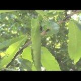 【動画】きれいに葉をたたんで赤ちゃんの家を作るナミオトシブミ