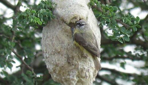【動画】敵を欺くダミーの入り口を巣に作る超賢いアフリカツリスガラ