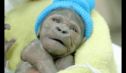 【動画】帝王切開で生まれたゴリラの赤ちゃん