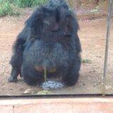 【閲覧注意】わざわざ遠くから排便を見せつけるためにやってくるチンパンジー