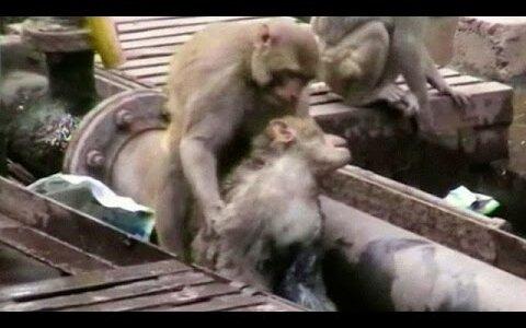 【動画】インドの駅で感電したサルを仲間のサルが救出する