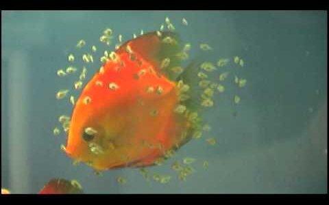 愛情こもった子育てがすごい!授乳する魚類「ディスカス」