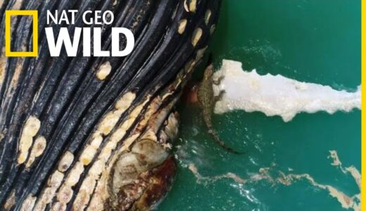 【動画】腐敗したクジラの死体、巨大な生殖器が飛び出している