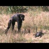 【動画】子どもが死んでしまった母親チンパンジーの反応