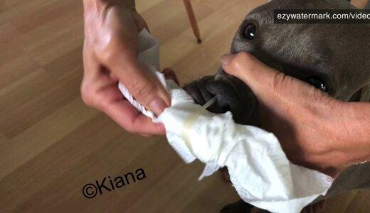 【動画】エンドレスに続くイヌの鼻水(鼻くそ??)