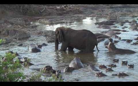 【動画】カバがゾウにちょっかいを出すもめんどくさそうに後ろ蹴りされる