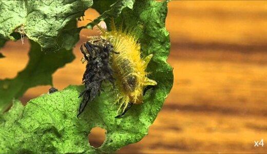 大量の尖った細いウンコを身にまとい武器にするイチモンジカメノコハムシの幼虫