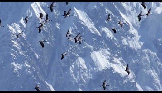 世界最高峰のエベレストを超える渡り鳥「アネハヅル」