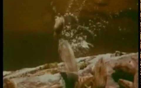 【動画】崖の下に集団で落ちる謎の行動をするレミング(タビネズミ)