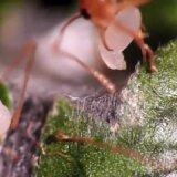 幼虫を接着剤代わりに使って巣をつくるヤツ「ツムギアリ」