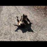 【動画】喧嘩して仰向けにさせた相手の首元を抑え込むコアラ