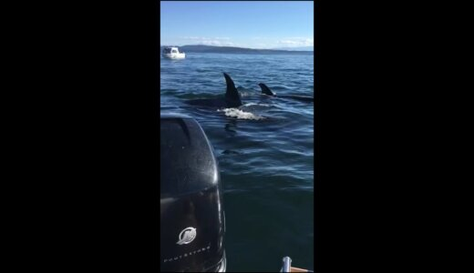 【動画】シャチよりヒトの方がまし!!ボートに逃げ込む子アザラシ