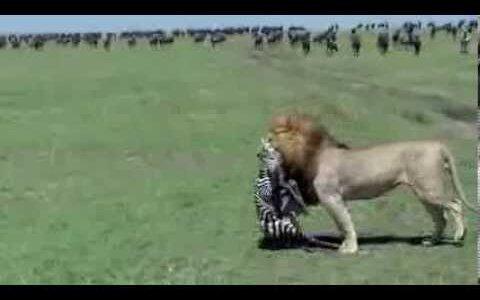 【閲覧注意】生まれたばかりのシマウマがようやく立ち上がるも、ライオンに喰われる