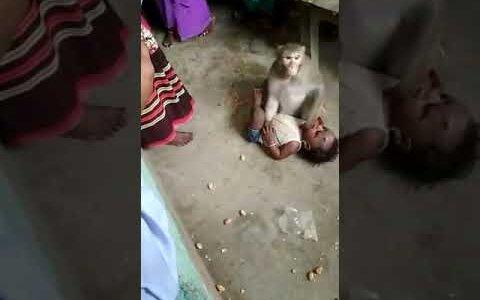 【動画】号泣するヒトの赤ちゃんを人質にとるサル