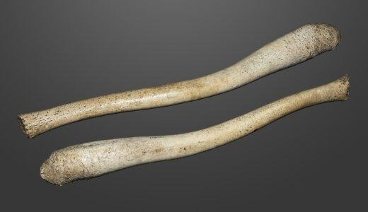 セイウチの陰茎骨はヒトの武器に使われていた