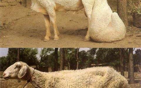 【動画】尾に脂肪を蓄えるように品種改良された寒羊の尾がでかすぎる