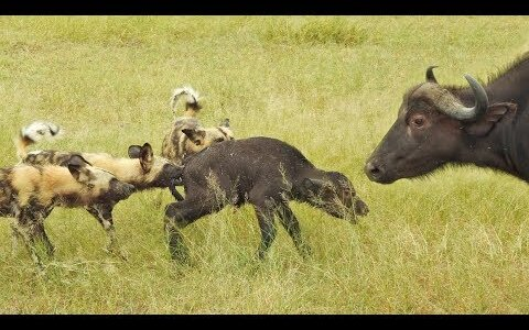成功率80%!驚異のチームワークでスイギュウの赤ちゃんを狩るリカオン