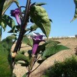 キチガイナスビという放送禁止用語の名前を持つ植物が存在する