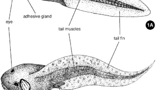 成長したオタマジャクシの鰓は1つしかない