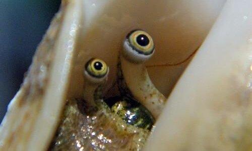 【動画】寄生獣のミギー??クモガイの貝殻を覗いてみたら2つの目玉がギョロギョロ