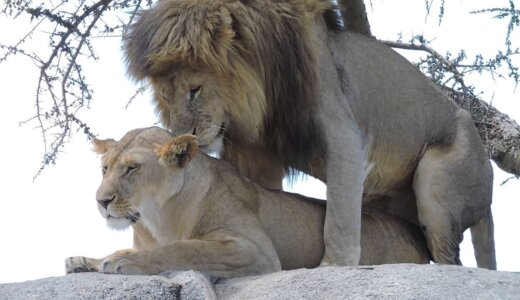 1回の交尾は数秒だけどめちゃくちゃ回数が多いヤツ「ライオン」