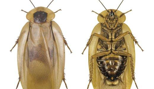ゴキブリの本当の名前は「ゴキカブリ」